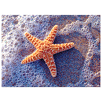 Sun-Kissed Sea Star Jigsaw Puzzle - 300 pc