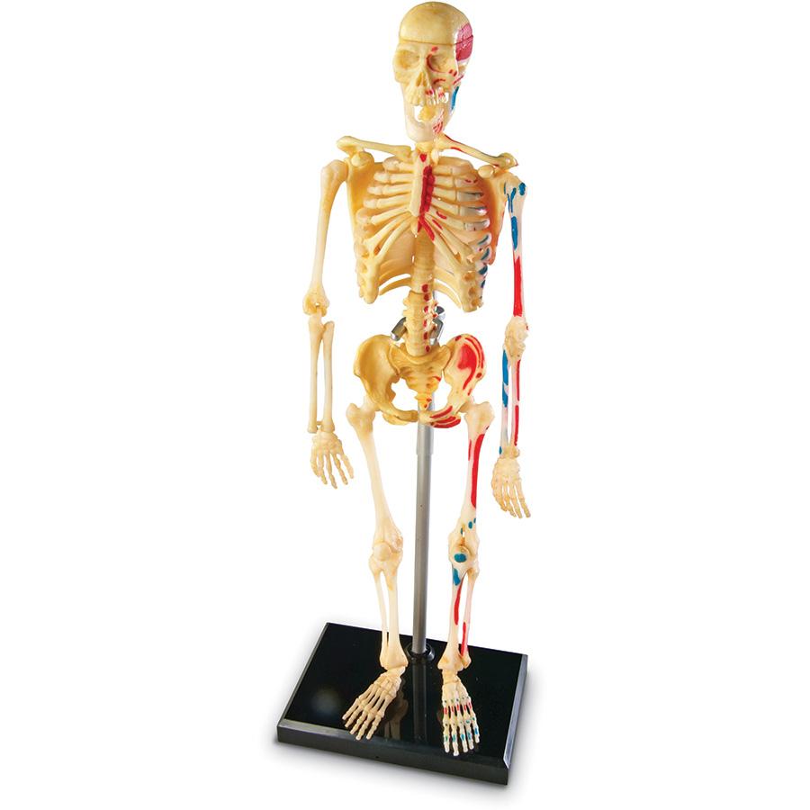 Anatomy Model - Skeleton