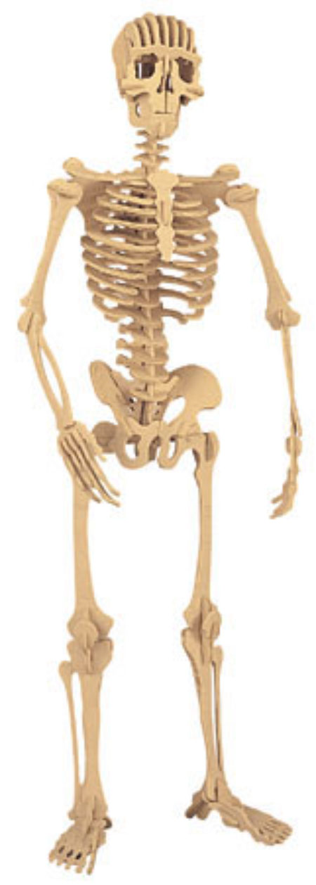 customer reviews of hugh the human skeleton kit by safari ltd., Skeleton